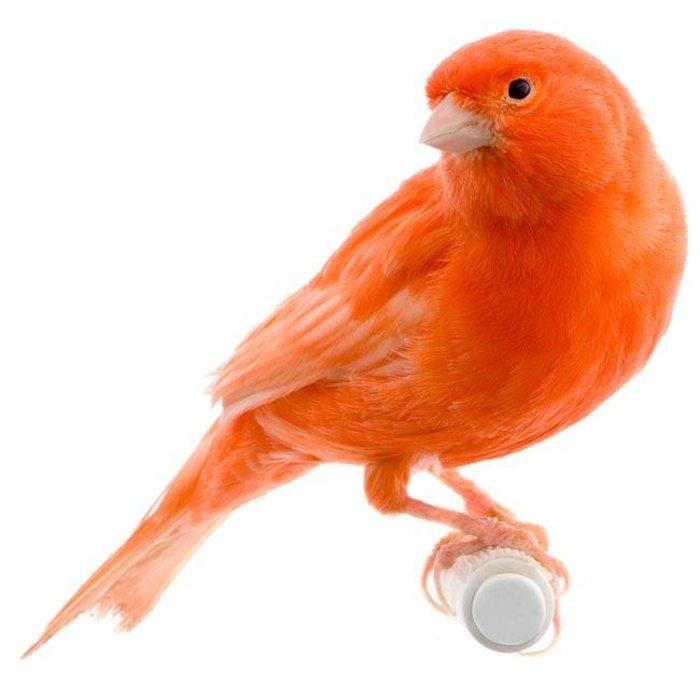 Kanarie rood intensief pop (Serinus Canaria )