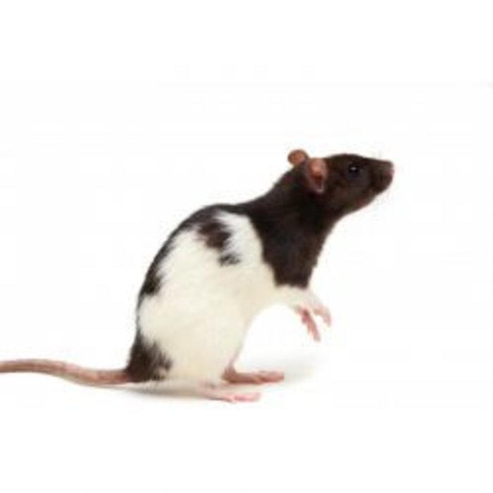 Voeder rat