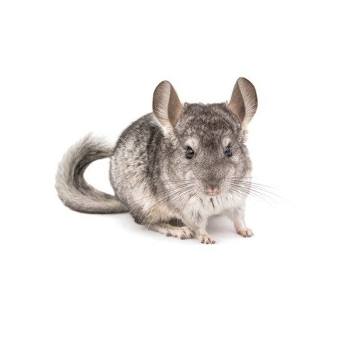 Chinchilla Grijs