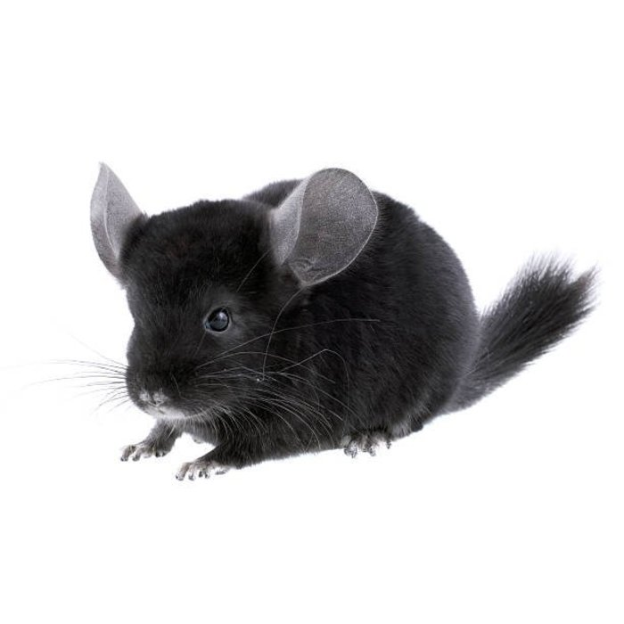 Chinchilla Zwart