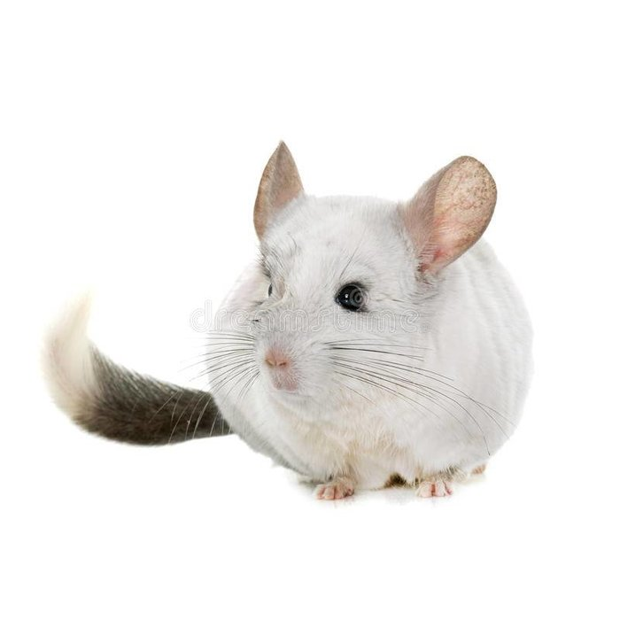 Chinchilla Wit