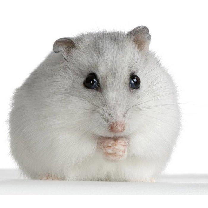 Hamster Nain Russe Blanc