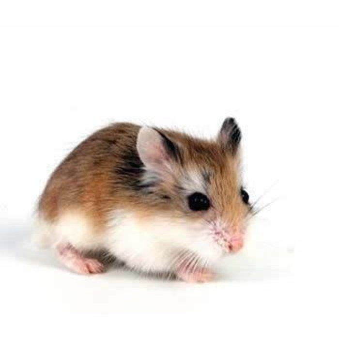 Roberovski Hamster