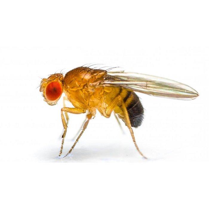 Fruitvliegen Groot