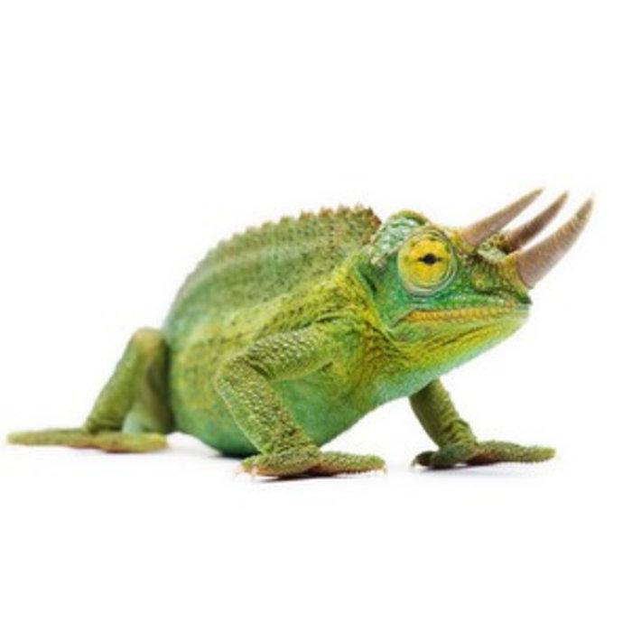 Chameleo Jacksonii Xantholophus