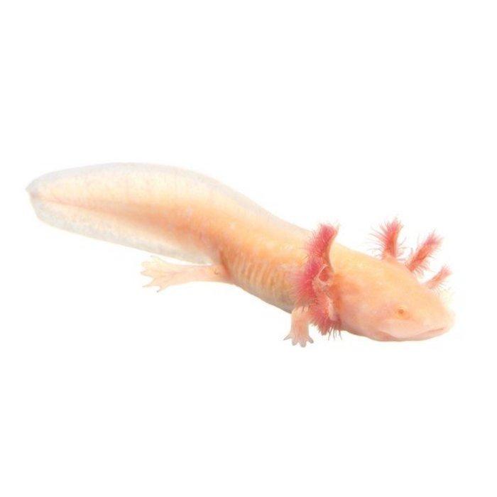 Ambystoma mexicanum (axolotl), albinos, 15 cm