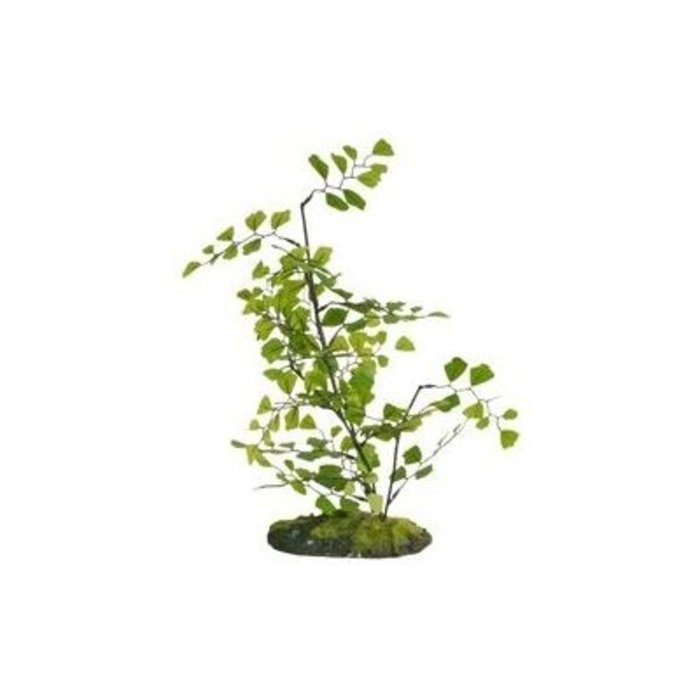 Maidenhair Fern (30 cm)
