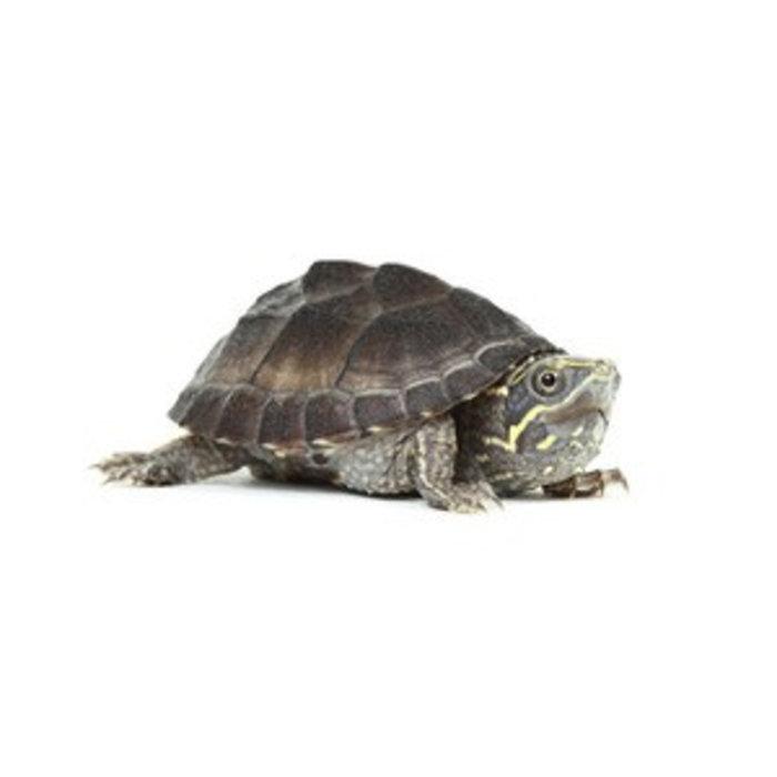 Sternotherus odoratus  3-4 cm (muskus schildpad)