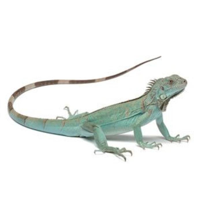 Iguana iguana, blauw 25-30 cm