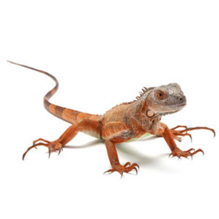 Iguana iguana, rood 25-30cm