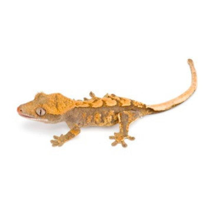 Correlophus (Rhacodactylus) ciliatus, morph mix