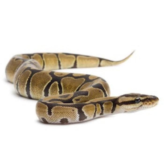 Python regius 30-35cm