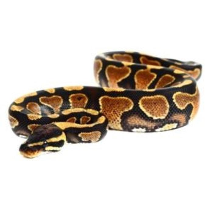 Python regius, yellow belly, man 25-30c m