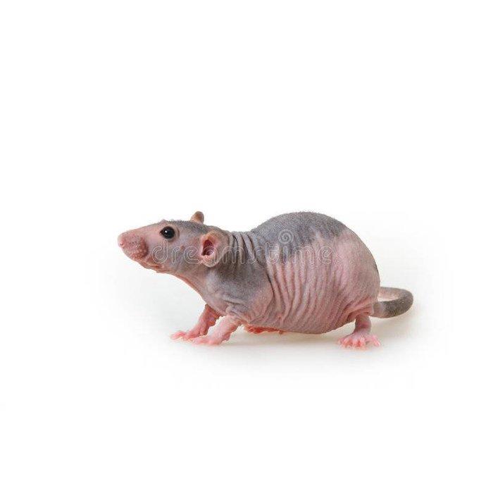 naakt Rat