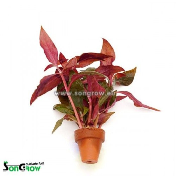 Alternanthera Cardinalis 10st (TC010)