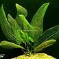 Aponogeton Madagascariensis Met Blad
