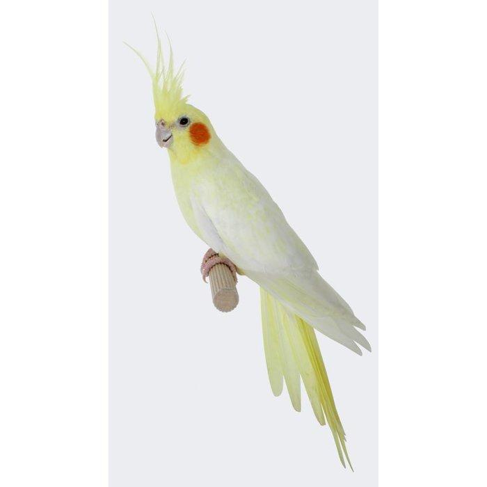 calopsitte blanche