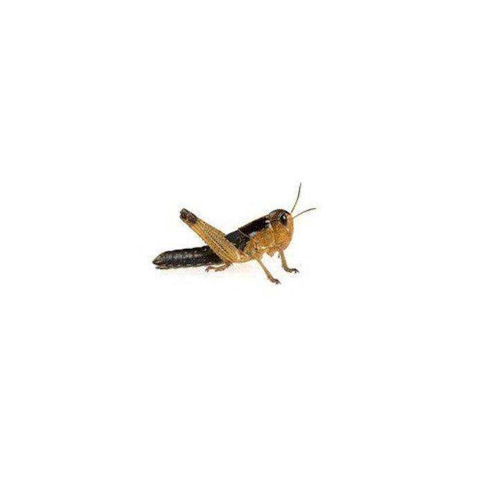 Treksprinkhanen Mini Ca. 20 St. (Locusta)