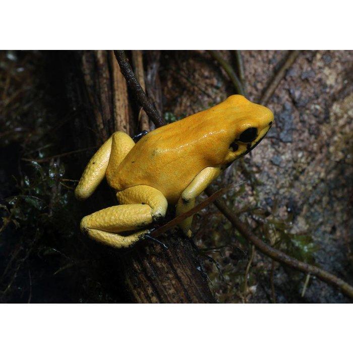 Phyllobates bicolor 'yellow'