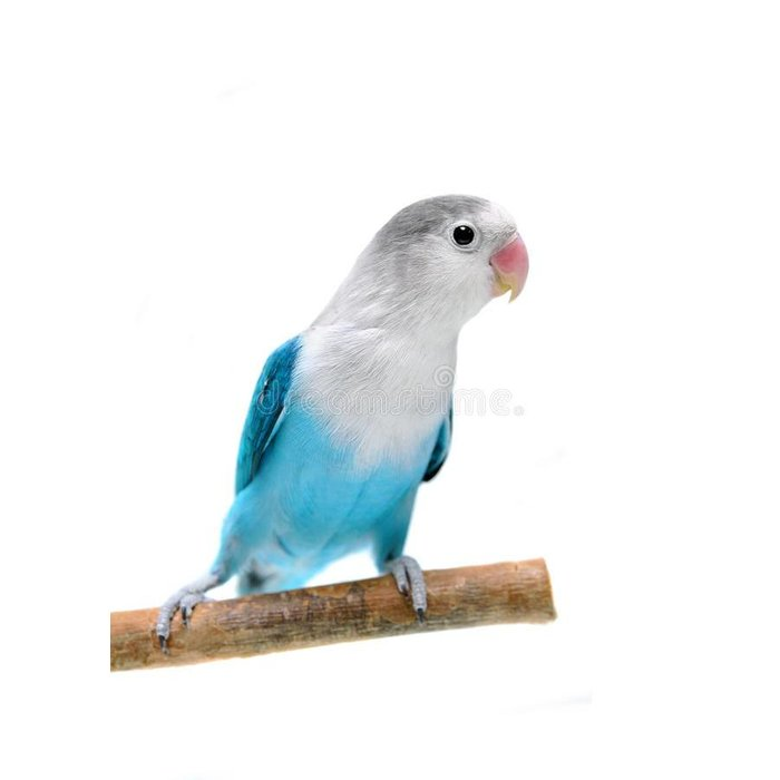 Agapornis Fischerie Bleu