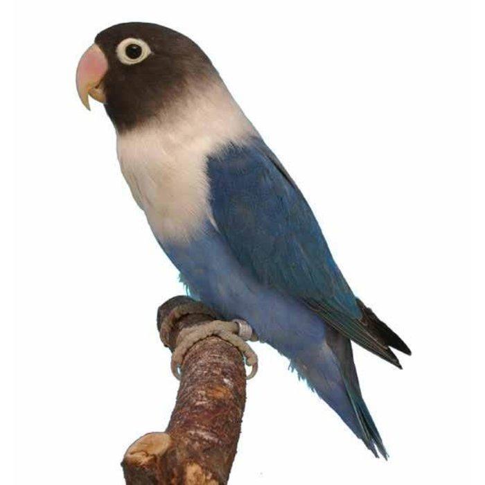 Agapornis Personata blauw