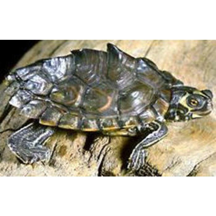 Zaagrug schildpad