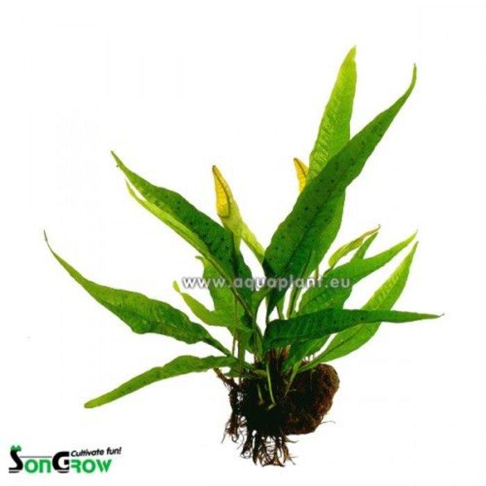 Microsorum pteropus -steen M Losse plant (1535)