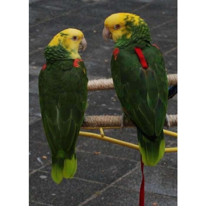Dubbele geelkop Amazone (Amazona Oratrix) CB2017
