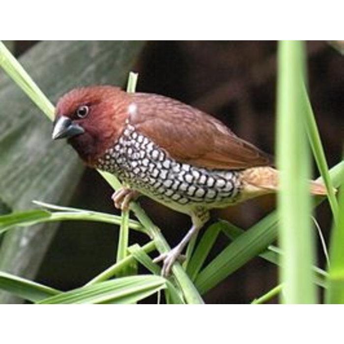 Muskaat vink (Lonchura Punctulata)
