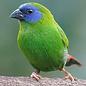 3-kleur papegaai amadine (Erythura Trichroa)