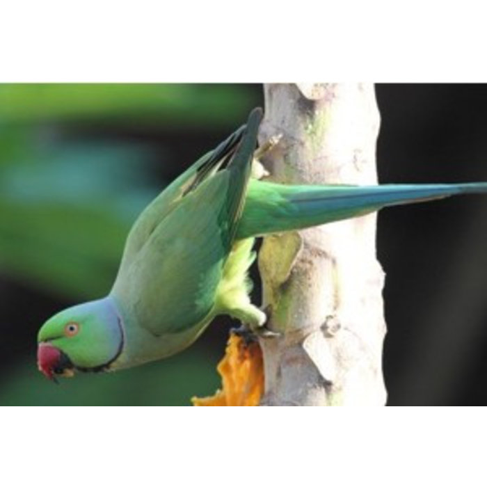 Halsband Parkiet groen (Psittacula Krameri
