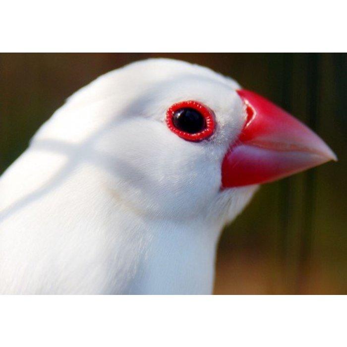 Rijstvogel wit  (Padda Oryzivora)