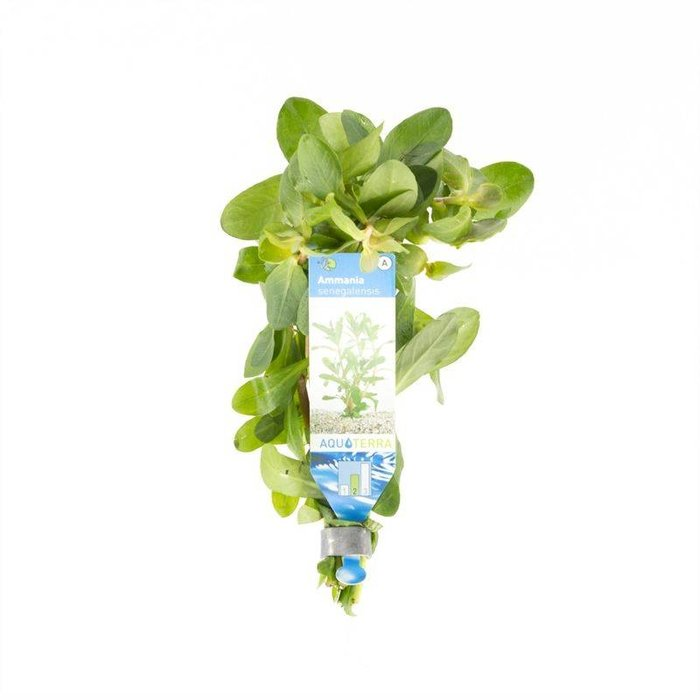Ammania senegalensis (Bos) (verpakt per 10 stuks) 95250