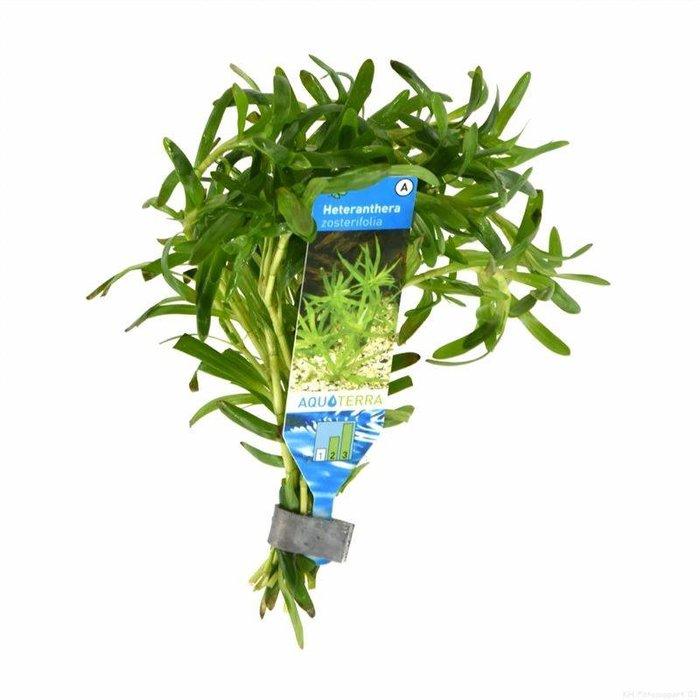 Heteranthera zosterifolia (emballé par 10 pièces) 95489