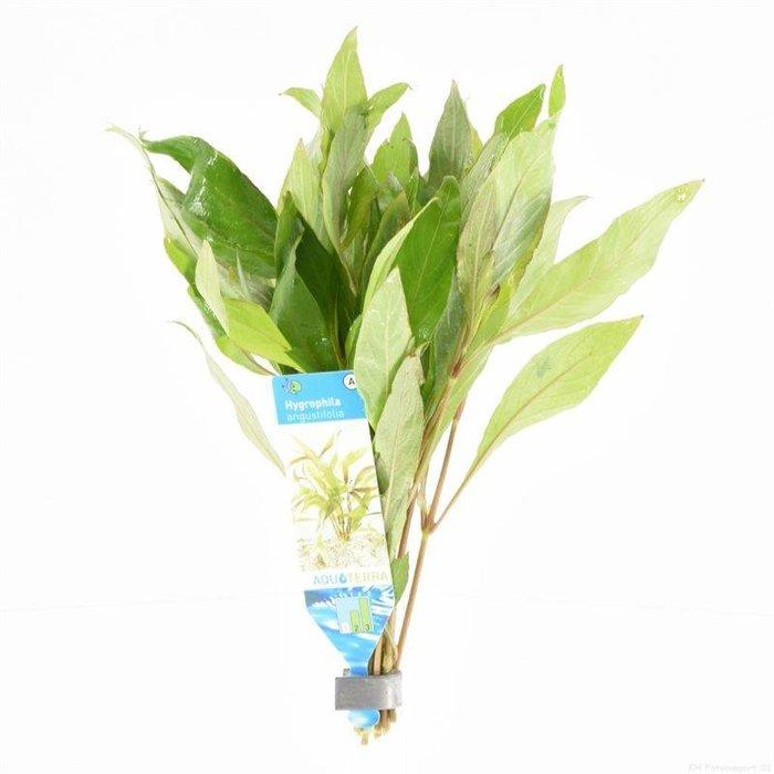 Hygrophila angustifolia (verpakt per 10 stuks ) 95502