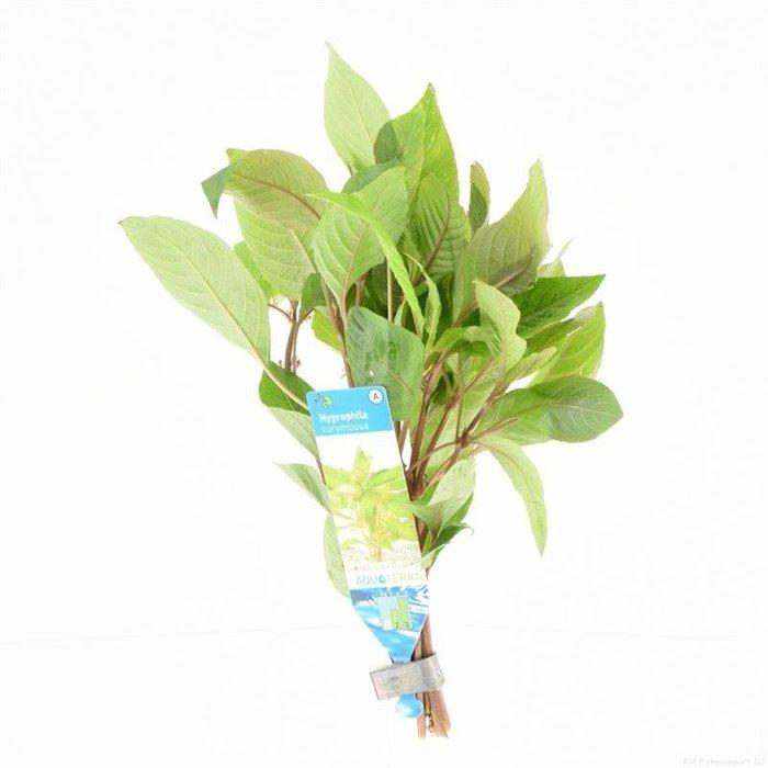 Hygrophila corymbosa (emballé par 10 pièces) 95503