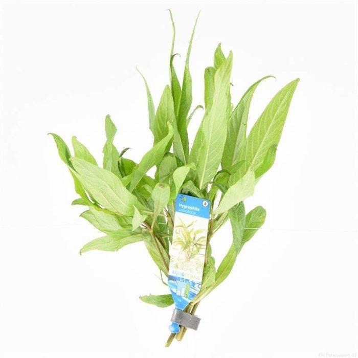 Hygrophila salicifolia (verpakt per 10 stuks) 95515