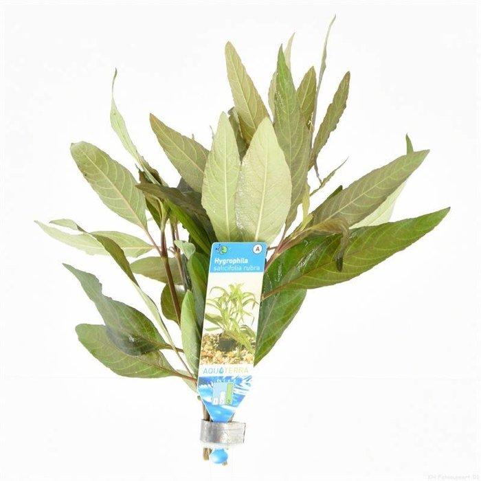 Hygrophila salicifolia rubra (verpakt per 10 stuks) 95516