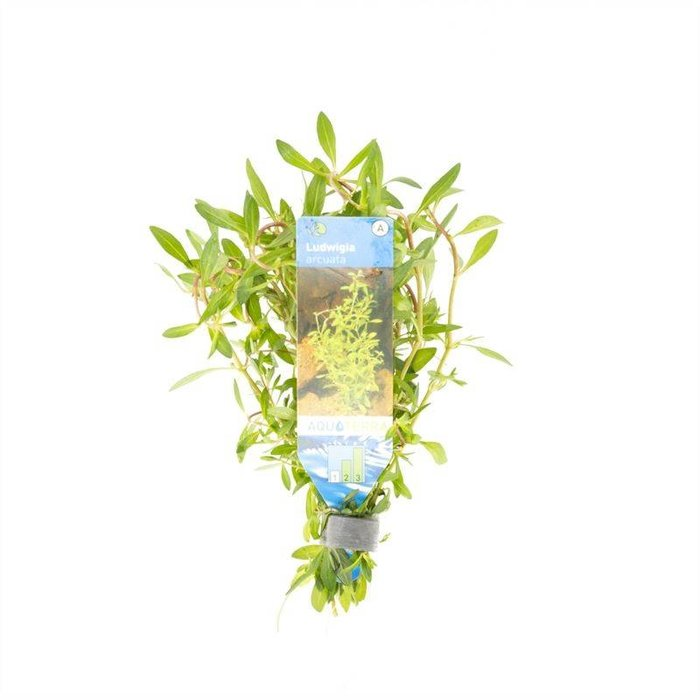 Ludwigia arcuata  (emballé par 10 pièces) 95540