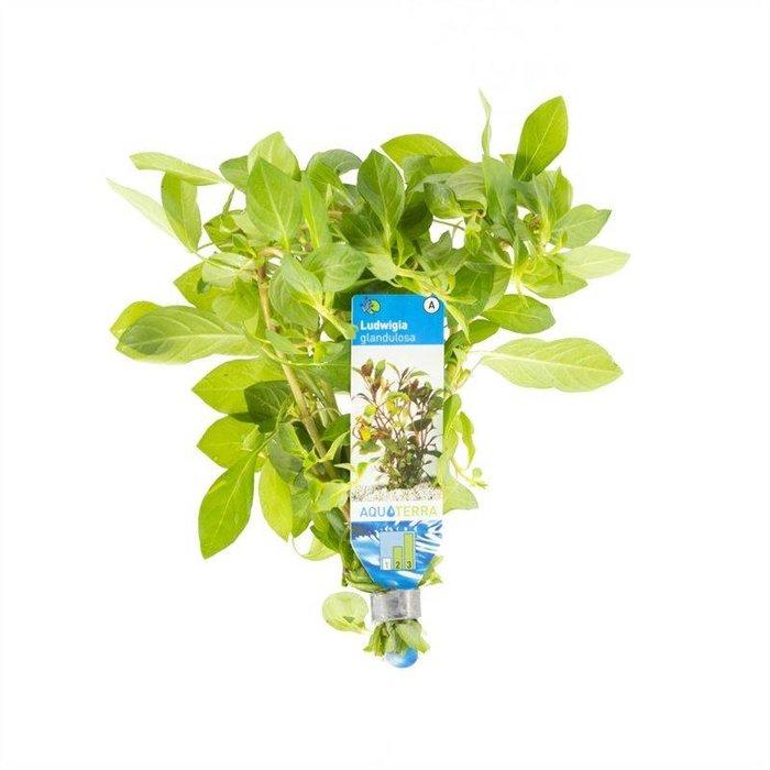 Ludwigia glandulosa (verpakt per 10 stuks) 95545