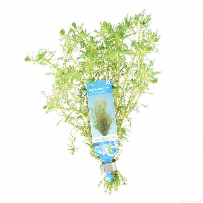 Myriophyllum brasiliensis (emballé par 10 pièces) 95601