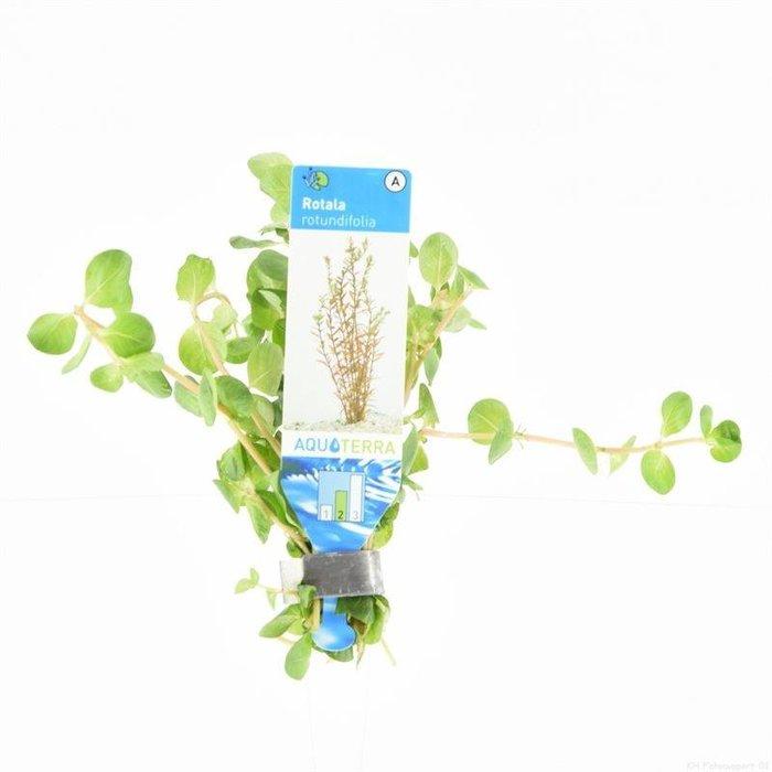 Rotala rotundifolia ( verpakt per 10 stuks) 95660