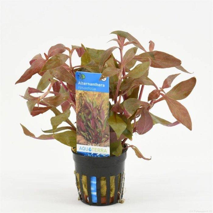 Alternanthera rosaefolia (verpakt per 6 stuks) 93220