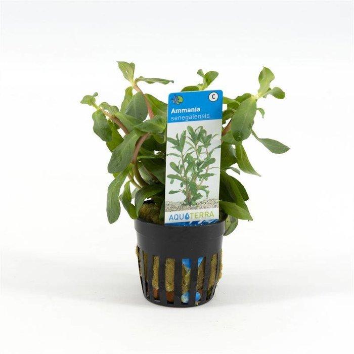Ammania senegalensis (emballé par 6 pièces) 93250