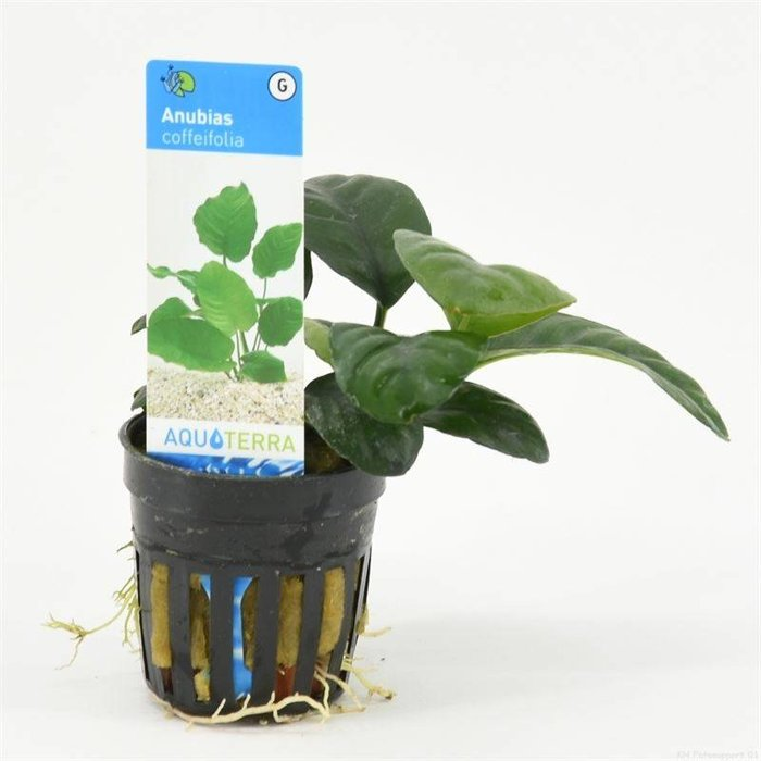 Anubias coffefolia (emballé par 6 pièces) 93265