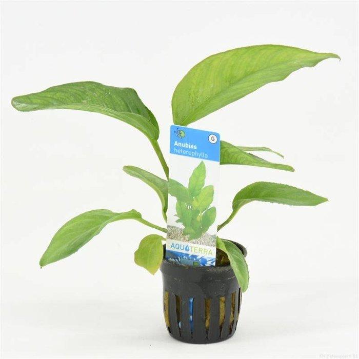 Anubias heterophylla (emballé par 6 pièces) 93275