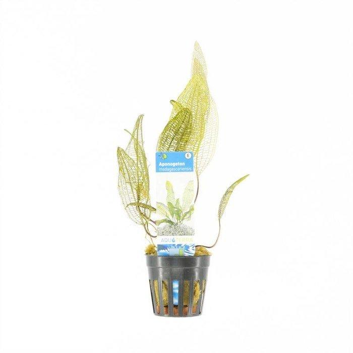 Aponogeton madagascariensis (verpakt per 6 stuks) 93290