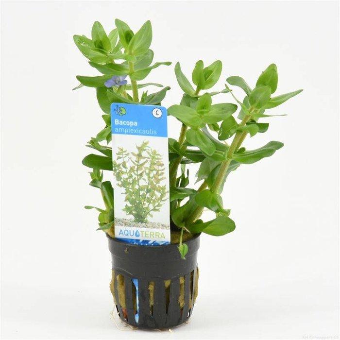 Bacopa amplexicaulis (carolia) (verpakt per 6 stuks) 93295
