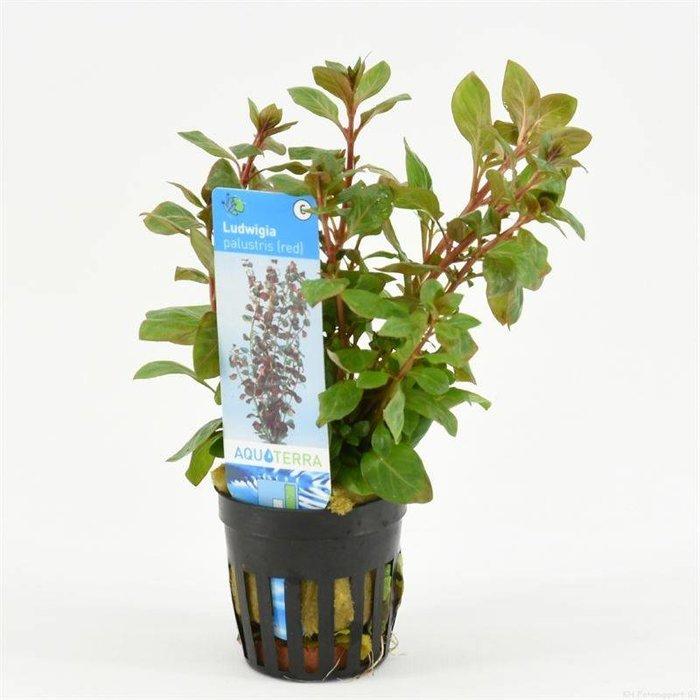 Ludwigia palustris rood (verpakt per 6 stuks)  93568