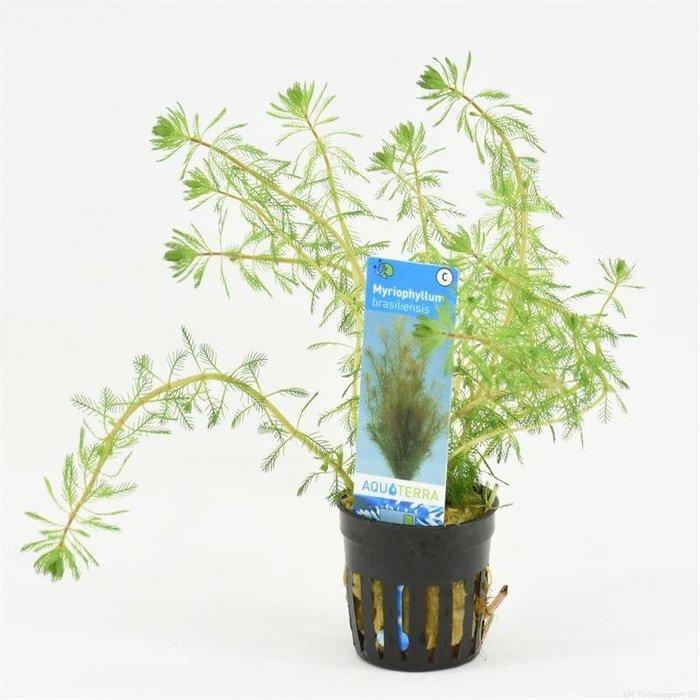Myriophyllum brasiliensis  (verpakt per 6 stuks) 93601